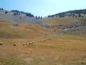 Les troupeaux sur le plateau de Châtillon